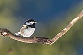 Germany, Bavaria, Alps, Oberallgäu, Oberstdorf, Songbirds, Great Tit searching for Food, Birdseed, Feeding Birds, Winter Feeding