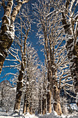 Germany, Bavaria, Alps, Oberallgaeu, Oberstdorf, winter landscape, winter holidays, winter hiking trail, avenue of trees in Winter