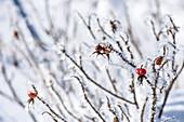 Deutschland, Bayern, Alpen, Oberallgäu, Oberstdorf, Winterlandschaft, Winterurlaub, Winterwanderweg, Hagebutte mit Schnee bedeckt, Eis, Frost, Eiskristalle