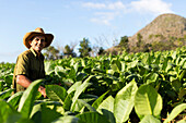 Tobacco farmer, Mogotes and tobacco fields in Vinales, climbing region, loneliness, beautiful nature, family travel to Cuba, parental leave, holiday, time-out, adventure, National Park Vinales, Vinales, Pinar del Rio, Cuba, Caribbean island