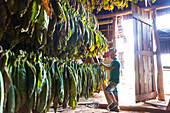 Boy looking at tobacco leaves hung up to dry, best tobacco region in the world, cigars, fields in Vinales, beautiful nature, family travel to Cuba, parental leave, holiday, time-out, adventure, National Park Vinales, Vinales, Pinar del Rio, Cuba, Caribbea