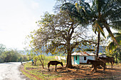 simple house and horses in Vinales, Mogotes, tobacco fields, countryside, beautiful nature, family travel to Cuba, parental leave, holiday, time-out, adventure, National Park Vinales, Vinales, Pinar del Rio, Cuba, Caribbean island