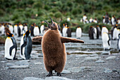 Young King penguin (Aptenodytes patagonicus) flaps its wings while calling for its parents, Gold Harbour, South Georgia Island, Antarctica