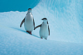 Two Chinstrap penguins (Pygoscelis antarctica) appear to be holding hands on an iceberg, near Penguin Island, Antarctica