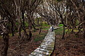 Rare Yellow-eyed penguins (Megadyptes antipodes) stand on a wooden walkway surrounded by trees, Enderby Island, Sub-Antarctic Islands, New Zealand