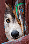 A sled dog peers through a fence, Itelmen Homestead, Kamchatka, Russia, Asia