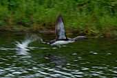 A loon takes flight from the water, Attu Island, Near Islands, Aleutian Islands, Alaska, USA, North America