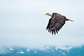 A bald eagle (Haliaeetus leucocephalus) in flight against an overcast sky, Unalaska Island, Alaska, USA, North America