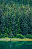 An Alaskan brown bear (Ursus arctos horribilis), commonly known as grizzly bear, forages in grass near the water while tall trees loom behind, Endicott Arm, Alaska, USA, North America