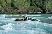Two harbor seals (Phoca vitulina) rest on an ice floe near Sawywer Glacier, Tracy Arm, Stephens Passage, Tongass National Forest, Tracy Arm-Fords Terror Wilderness, Alasksa, USA, North America