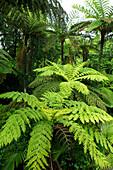 Tree fern in Norfolk Island National Park, Australia