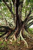 Huge White fig tree near St. Barnabas Chapel in the interior of Norfolk Island, Australia