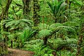Weg führt durch Regenwald mit Farnbäumen, Abel Tasman Coastal Track, Great Walks, Abel Tasman Nationalpark, Tasman, Südinsel, Neuseeland