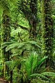 Regenwald mit Farnbäumen, Abel Tasman Coastal Track, Great Walks, Abel Tasman Nationalpark, Tasman, Südinsel, Neuseeland