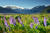 Blue lupines swaying in the wind, Arthur's Pass, Arthur's Pass National Park, Canterbury, South island, New Zealand