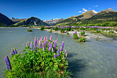 Blue and pink lupines growing on island in a river, mountains of Fiordland National Park in background, Fiordland National Park, UNESCO Welterbe Te Wahipounamu, Queenstown-Lake District, Otago, South island, New Zealand