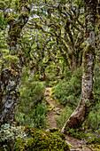 Track leading through beech forest, Hump Ridge, Hump Ridge Track, Fiordlands National Park, UNESCO world heritage Te Wahipounamu, Southland, South island, New Zealand