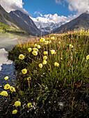 flowers near lake Akkemskoye Ozero, Kara-Tyurek, Belucha, Altai, Siberia, Russia