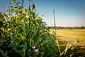 field with sunflowers on the edge of the field, organic, agriculture, farming, Bavaria, Germany, Europe
