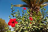 Hibiscus blossom, rose of Sharon, bloom, flower, Crete, Greece, Europe