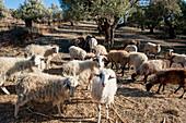 Flock of sheep grazing, Plakias, Crete, Greece, Europe