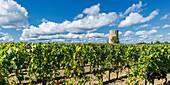 vineyards in Medoc, Bordeaux, Gironde, Aquitaine, France, Europe