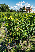 vineyards in Medoc, Bordeaux, Gironde, Aquitaine, France, Europe, Chateau Lascombes, vineyard in Medoc, Margeaux,  grapevine, Bordeaux, Gironde, Aquitaine, France, Europe