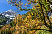 Maple tree in autumn colours, Grosser Ahornboden, Eng, Karwendel, Natural Park Karwendel, Tyrol, Austria