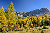 Herbstlich verfärbte Lärchen vor Monte Formin, Cortina d' Ampezzo, Dolomiten, UNESCO Welterbe Dolomiten, Venetien, Italien