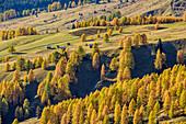 Wiesen von Pralongia mit Almhütten und herbstlich verfärbten Lärchen, Col di Lana, Dolomiten, UNESCO Welterbe Dolomiten, Venetien, Italien