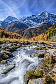 Bachlauf mit herbstlich verfärbten Lärchen, Königsspitze, Zebru und Ortler im Hintergrund, Sulden, Ortlergruppe, Südtirol, Italien