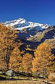 Cevedale mit herbstlich verfärbten Lärchen im Vordergrund, Martelltal, Ortlergruppe, Südtirol, Italien