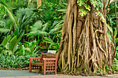 Bench in front of tropical tree with air roots, Botanical Gardens Singapore, UNESCO World Heritage Site Singapore Botanical Gardens, Singapore
