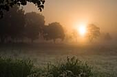 Pasture in fog at sunrise, Hesel, Friedeburg, Wittmund, East Frisia, Lower Saxony, Germany, Europe