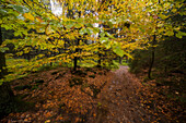 Beech tree in autumn at rain, river Warm Bode, Braunlage, Harz National Park, Lower Saxony, Germany, Europe