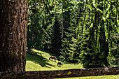 Horses on pasture in a coniferous forest, Aldein, South Tyrol, Alto Adige, Italy