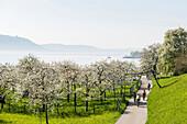 Blühende Obstbäume und Fahrradfahrer, Sipplingen, Bodensee, Bodenseekreis, Baden-Württemberg, Deutschland