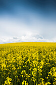 Flowering rape field and clouds, Lake Constance, Baden-Württemberg, Germany