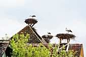 White Storks (Ciconia ciconia) in nest on roof, near Salem, Lake Constance, Baden-Württemberg, Germany