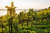 Ausblick auf Weinberge am Bodensee, Meersburg, Bodensee, Baden-Württemberg, Deutschland