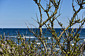 Tree branches at Baltic Sea, Kellenhusen,  Schleswig Holstein, Germany