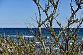 Äste mit Frühlingsknospen an der Ostsee, Kellenhusen, Schleswig Holstein, Deutschland