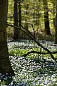 Spring flowers in woods, Kellenhusen,  Schleswig Holstein, Germany
