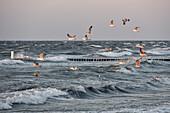 Sey Gulls over  Baltic Sea, Kellenhusen,  Schleswig Holstein, Germany