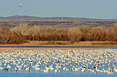 Snow geese swimming at lake, Bosque del Apache National Wildlife Refuge, New Mexico, USA