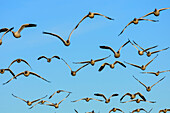 Many snow geese in flight, Bosque del Apache National Wildlife Refuge, New Mexico, USA
