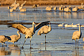 Crane balancing on frozen lake, Bosque del Apache National Wildlife Refuge, New Mexico, USA