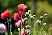 Poppy enchantment in an English garden. Red and pink poppies with dark patches.