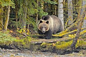 Grizzly bear (Ursus arctos)- Yearling cub approaching the shore of the Chilko River, Chilcotin Wilderness, BC Interior, Canada.