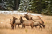 Elk (Cervus elaphus) Bull with harem of females in mountain meadow, Banff National Park, Alberta, Canada.